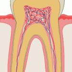 kanały zębowe (rysunek schematyczny przekroju zęba)